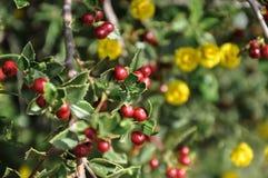 Detalle de la planta salvaje del acebo imagen de archivo libre de regalías