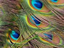 Detalle de la pluma del pavo real Imagenes de archivo