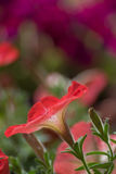 Detalle de la primavera de las violetas Imagenes de archivo