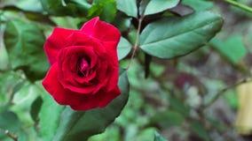 Detalle de la rosa del rojo en la floración Foto de archivo