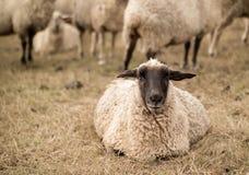 detalle de la sepia de las ovejas Imagenes de archivo