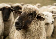 detalle de la sepia de las ovejas Fotos de archivo