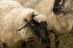 detalle de la sepia de las ovejas Imagen de archivo libre de regalías