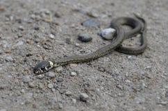 Detalle de la serpiente del bebé Fotografía de archivo
