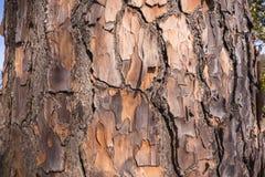 Detalle de la textura de la piel del árbol Imagen de archivo libre de regalías