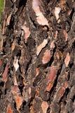Detalle de la textura del barck del pino negro Imágenes de archivo libres de regalías