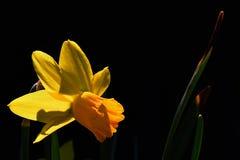 Detalle de las flores de la primavera y de las hojas del abedul Betula Raddeana Imagen de archivo