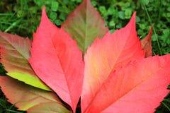 Detalle de las hojas coloridas del otoño hermoso Fotos de archivo libres de regalías