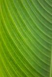 Detalle de las hojas del plátano Imagen de archivo