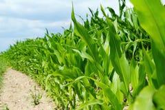 Detalle de las plantas de maíz en el campo de la agricultura Imágenes de archivo libres de regalías