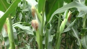 Detalle de las plantas de maíz en el campo de la agricultura almacen de video