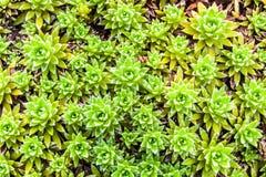 Detalle de las plantas verdes de los houseleeks Imagen de archivo