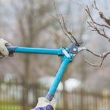 Detalle de las tijeras de podar que cultivan un huerto que arreglan una rama de un árbol frutal Imagen de archivo libre de regalías