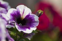 Detalle de las violetas Foto de archivo libre de regalías