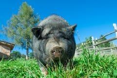 Detalle de los cerdos negros del cerdo en la hierba Foto de archivo libre de regalías