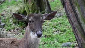 Detalle de los ciervos de Thorolds almacen de metraje de vídeo