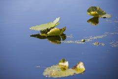 Detalle de los lillypads reflejados en el agua Fotos de archivo libres de regalías