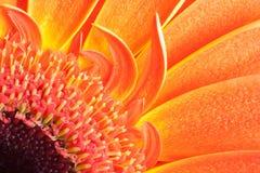 Detalle de los pétalos anaranjados del gerbera Fotos de archivo libres de regalías