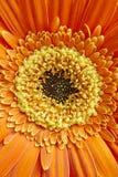 Detalle de los pétalos de la flor de la maravilla en tono anaranjado y amarillo botánico Fotografía de archivo libre de regalías