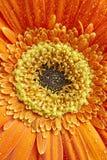 Detalle de los pétalos de la flor de la maravilla en tono anaranjado y amarillo botánico Imagen de archivo libre de regalías