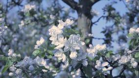 Detalle de los pétalos de la caída en tema de la primavera Apple florece la atmósfera de la flor, fría y fresca almacen de video