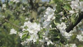 Detalle de los pétalos de la caída en tema de la primavera Apple florece flor almacen de metraje de vídeo