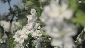 Detalle de los pétalos de la caída en tema de la primavera Apple florece flor