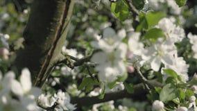 Detalle de los pétalos de la caída en tema de la primavera Apple florece flor almacen de video