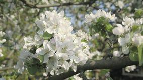 Detalle de los pétalos de la caída en tema de la primavera Apple florece flor metrajes