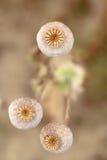 Detalle de los poppyheads del árbol en el campo Imagen de archivo libre de regalías