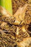 Detalle de Palmtree Fotografía de archivo libre de regalías