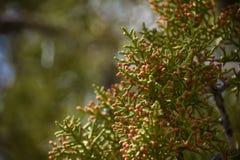 Detalle de Pinecones del árbol del enebro Fotografía de archivo libre de regalías