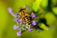 Detalle de polinización de la abeja Foto de archivo libre de regalías