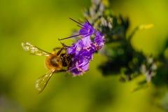 Detalle de polinización de la abeja Imágenes de archivo libres de regalías
