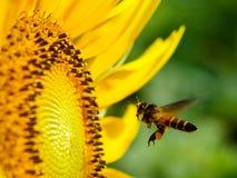 Detalle de sembrar la abeja con el girasol floreciente Imagen de archivo libre de regalías
