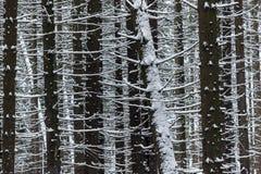 Detalle de troncos oscuros en bosque nevoso denso en invierno Foto de archivo libre de regalías