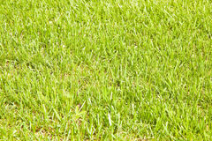 Detalle de un campo hermoso de la hierba fresca cultivada Foto de archivo