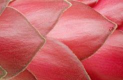 Detalle de un flor del jengibre rojo Fotografía de archivo
