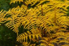 Detalle de un helecho amarillo Fotos de archivo
