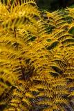Detalle de un helecho amarillo Imagenes de archivo
