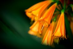 Detalle de un lirio tigrado anaranjado foto de archivo