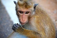 Detalle de un mono, Srí Lanka fotos de archivo