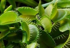 Detalle de un muscipula del Dionaea de la planta foto de archivo libre de regalías