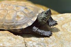 Detalle de un reevesii de los chinemys de la tortuga de tres crestas foto de archivo