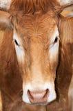 Retrato de una vaca Fotografía de archivo libre de regalías