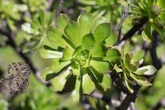 Detalle de un solo florete de un arboreum verde del Aeonium Imágenes de archivo libres de regalías