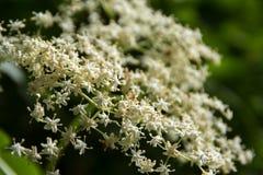 Detalle de un umbel del elderflower (nigra del Sambucus) en el jardín, c foto de archivo