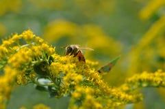 Detalle de una abeja salvaje en una flor amarilla oscura amarilla del canadensis de la solidago Imagenes de archivo