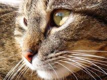 Detalle de una cabeza del gato El gato es gato atigrado Imagen de archivo