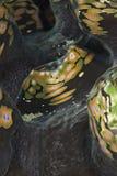 Detalle de una capa de la almeja gigante estriada. Imágenes de archivo libres de regalías